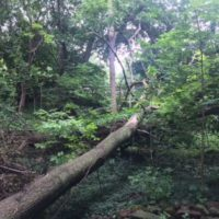 Huge Tree Blowdown in Fairport